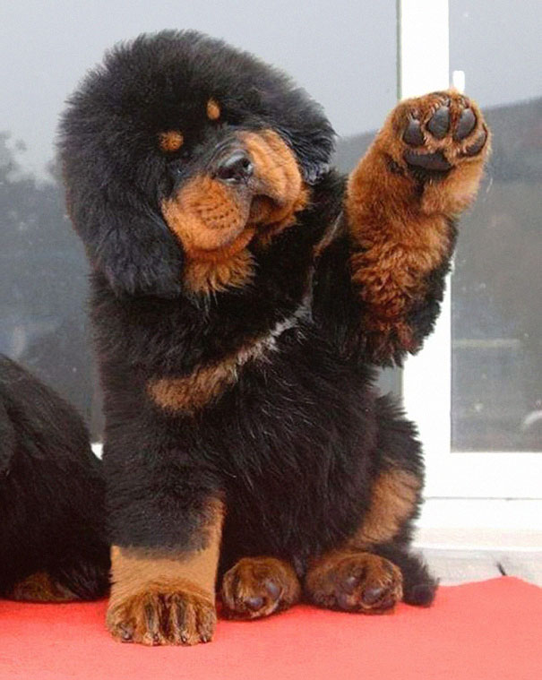 chubby-puppies-bear-cub-look-alikes-15__605