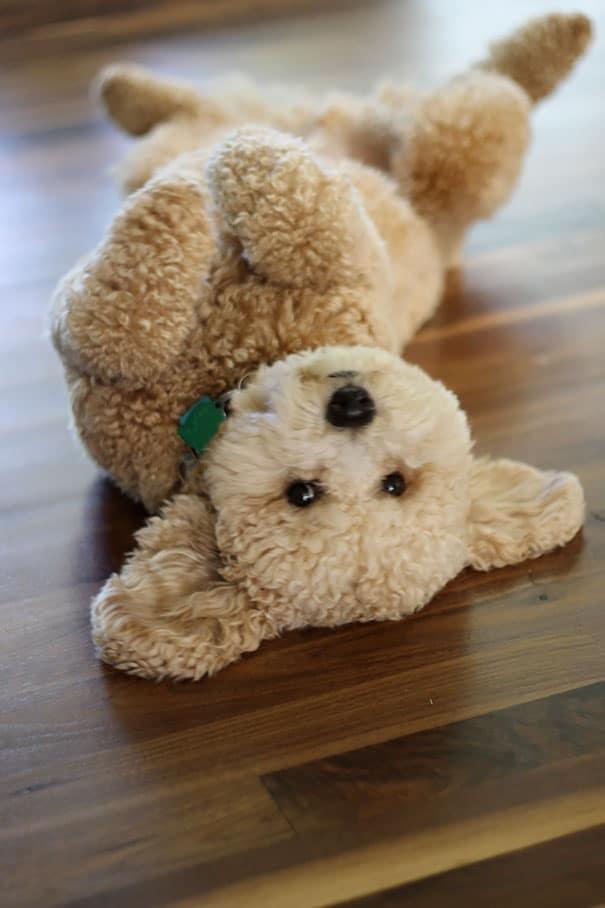 chubby-puppies-bear-cub-look-alikes-18__605
