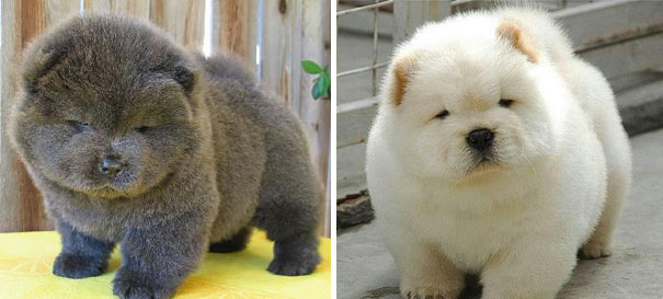 chubby-puppies-bear-cub-look-alikes-4__605