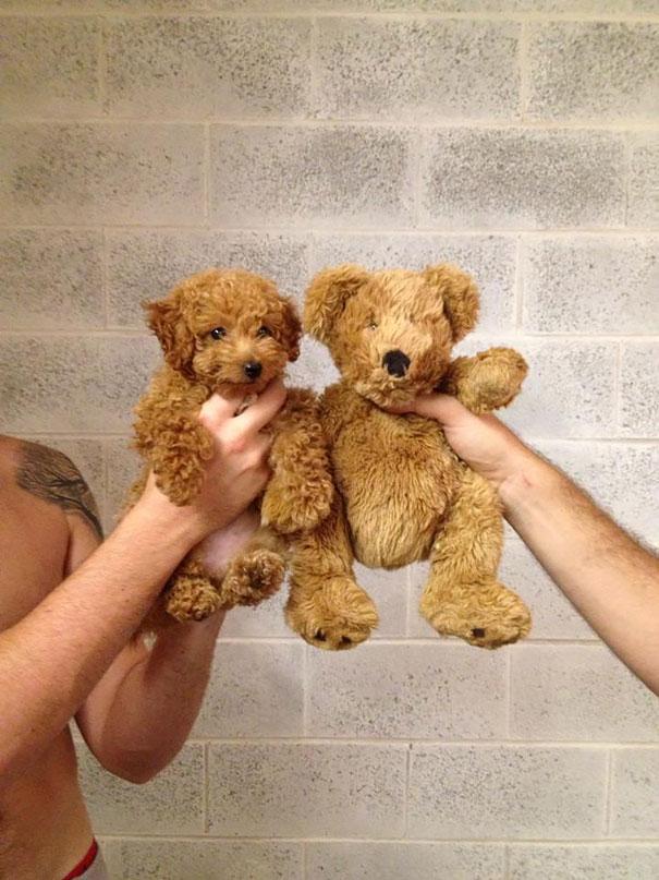 chubby-puppies-bear-cub-look-alikes-6__605