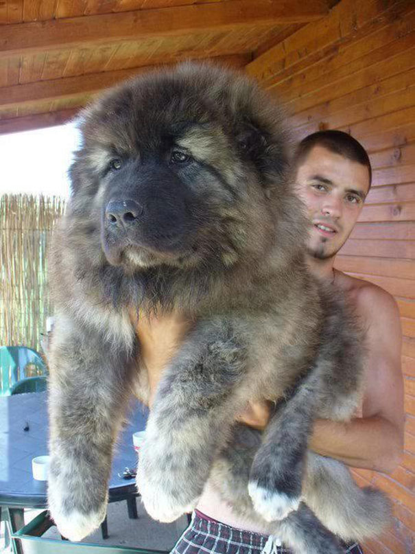 chubby-puppies-bear-cub-look-alikes-7__605