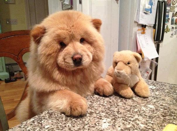 dog-look-like-teddy-bear-1__605