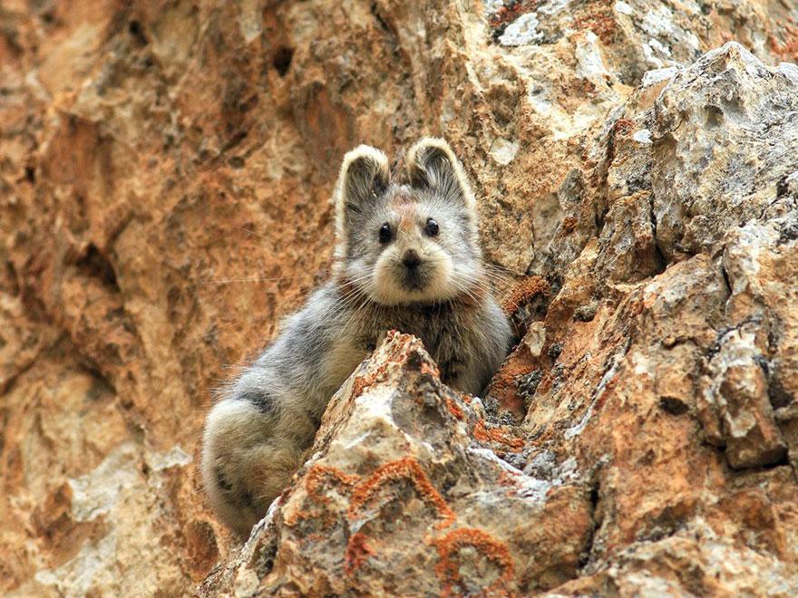 rare-endangered-animal-teddy-bear-magic-rabbit-ili-pika-china-1