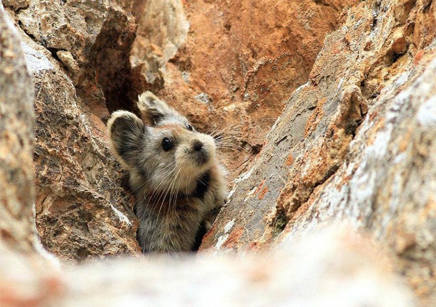rare-endangered-animal-teddy-bear-magic-rabbit-ili-pika-china-4