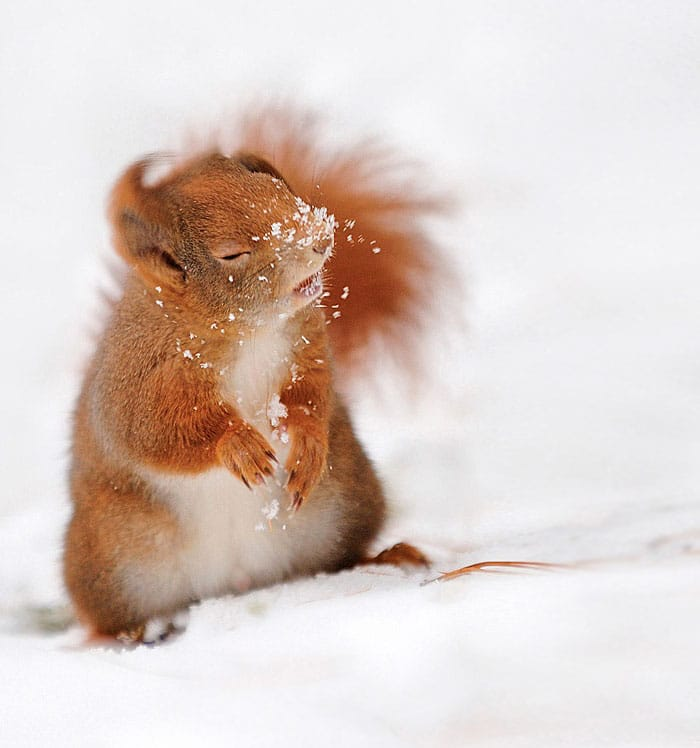 Una ardilla de nieve