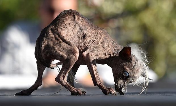 entre los concursos más extraños tenemos el del perro más feo del mundo
